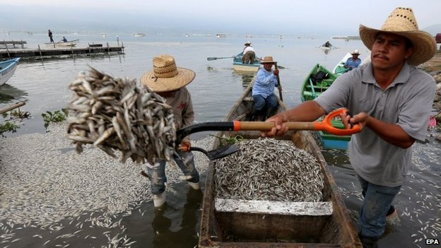 Locals and environmental officials have been removing fish by the boatload
