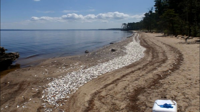Tens of thousands of dead fish wash ashore in North Carolina